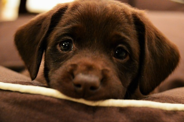 puppy dog eyes lab